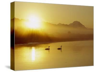 Trumpeter Swan (Cygnus Buccinator) Pair on Lake at Sunset, North America-Michael S^ Quinton-Stretched Canvas Print
