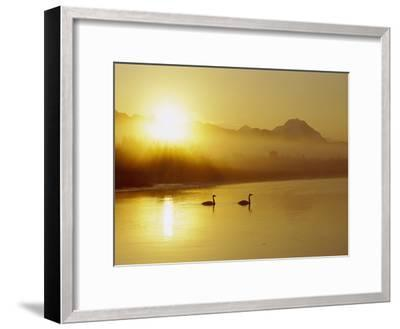 Trumpeter Swan (Cygnus Buccinator) Pair on Lake at Sunset, North America-Michael S^ Quinton-Framed Photographic Print