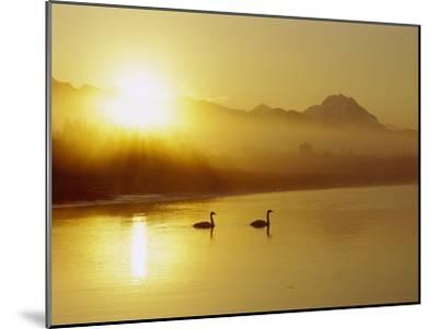 Trumpeter Swan (Cygnus Buccinator) Pair on Lake at Sunset, North America-Michael S^ Quinton-Mounted Photographic Print