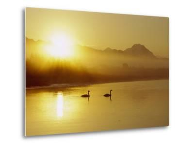 Trumpeter Swan (Cygnus Buccinator) Pair on Lake at Sunset, North America-Michael S^ Quinton-Metal Print