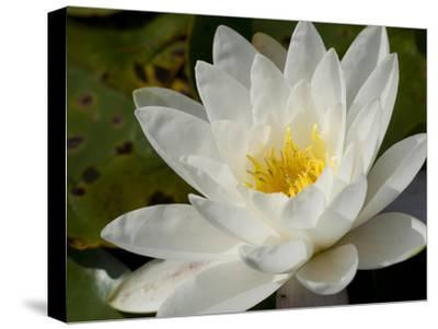 Close Up of a Water Lily Flower-Joe Petersburger-Stretched Canvas Print