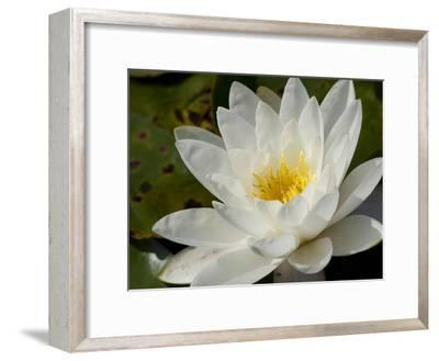 Close Up of a Water Lily Flower-Joe Petersburger-Framed Photographic Print