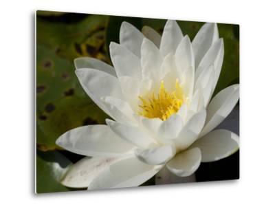 Close Up of a Water Lily Flower-Joe Petersburger-Metal Print
