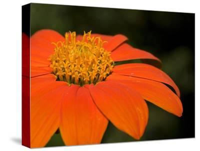 Close Up of an Orange Zinnia Flower-Joe Petersburger-Stretched Canvas Print