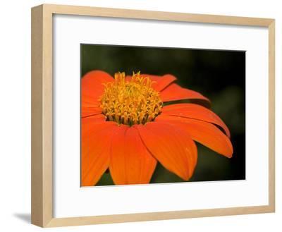Close Up of an Orange Zinnia Flower-Joe Petersburger-Framed Photographic Print