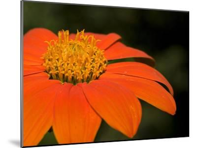 Close Up of an Orange Zinnia Flower-Joe Petersburger-Mounted Photographic Print
