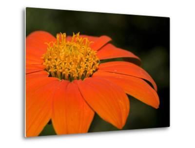 Close Up of an Orange Zinnia Flower-Joe Petersburger-Metal Print