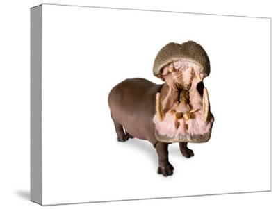 A Hippo, Hippopotamus Amphibius-Joel Sartore-Stretched Canvas Print