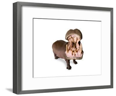 A Hippo, Hippopotamus Amphibius-Joel Sartore-Framed Photographic Print