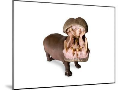 A Hippo, Hippopotamus Amphibius-Joel Sartore-Mounted Photographic Print