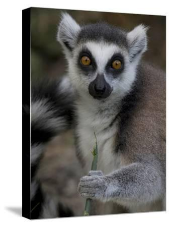 A Ring-Tailed Lemur, Lemur Catta, Eating-Joe Petersburger-Stretched Canvas Print