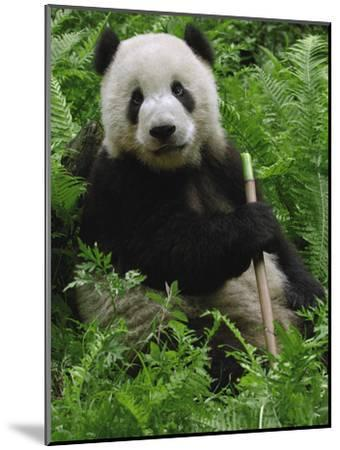 Giant Panda (Ailuropoda Melanoleuca) Eating Bamboo, Wolong China Conservation-Pete Oxford-Mounted Photographic Print
