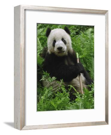 Giant Panda (Ailuropoda Melanoleuca) Eating Bamboo, Wolong China Conservation-Pete Oxford-Framed Photographic Print