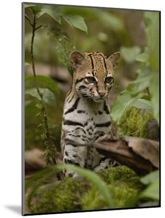 Ocelot (Felis Pardalis) Sitting Among Plants, Amazon Rainforest, Ecuador-Pete Oxford-Mounted Photographic Print