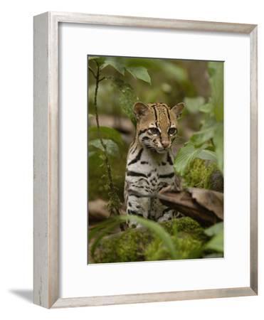 Ocelot (Felis Pardalis) Sitting Among Plants, Amazon Rainforest, Ecuador-Pete Oxford-Framed Photographic Print