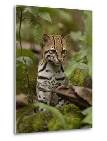 Ocelot (Felis Pardalis) Sitting Among Plants, Amazon Rainforest, Ecuador-Pete Oxford-Metal Print
