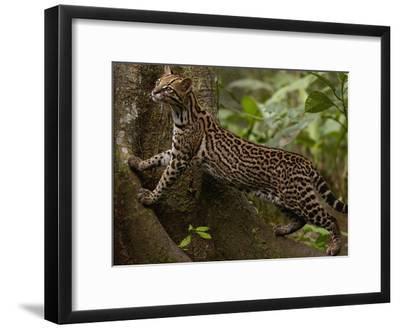 Ocelot (Felis Pardalis) Climbing on Buttress Root, Amazon Rainforest, Ecuador-Pete Oxford-Framed Photographic Print