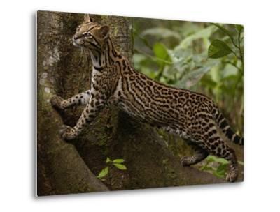 Ocelot (Felis Pardalis) Climbing on Buttress Root, Amazon Rainforest, Ecuador-Pete Oxford-Metal Print