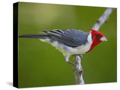 Red-Crested Cardinal (Paroaria Coronata) Perched on Branch, Pantanal, Brazil-Pete Oxford-Stretched Canvas Print
