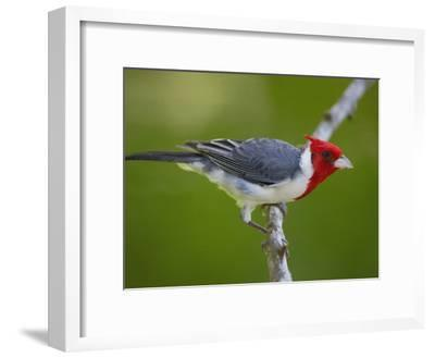 Red-Crested Cardinal (Paroaria Coronata) Perched on Branch, Pantanal, Brazil-Pete Oxford-Framed Photographic Print