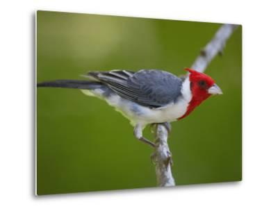 Red-Crested Cardinal (Paroaria Coronata) Perched on Branch, Pantanal, Brazil-Pete Oxford-Metal Print