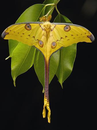 Madagascar Moon Moth or Comet Moth (Argema Mittrei) on Jamun (Eugenia Jambolana) Leaves-Pete Oxford-Framed Photographic Print