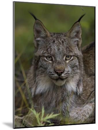 Canada Lynx (Lynx Canadensis), Delani National Park, Alaska-Michael S^ Quinton-Mounted Photographic Print