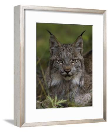 Canada Lynx (Lynx Canadensis), Delani National Park, Alaska-Michael S^ Quinton-Framed Photographic Print