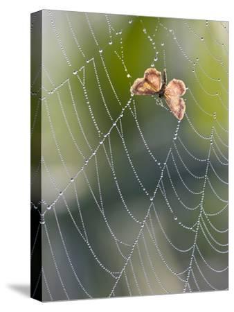 Moth in Spiderweb, Bavaria, Germany-Konrad Wothe-Stretched Canvas Print