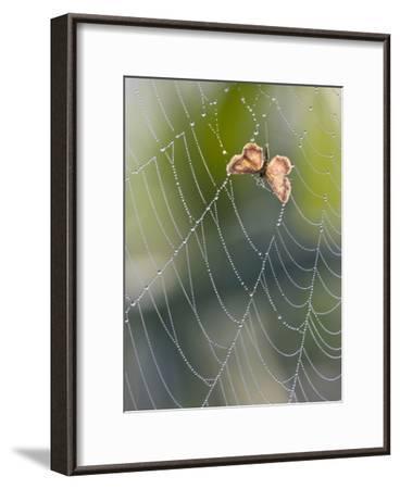 Moth in Spiderweb, Bavaria, Germany-Konrad Wothe-Framed Photographic Print