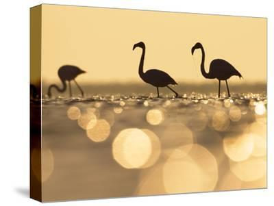 Greater Flamingo (Phoenicopterus Ruber) Trio at Sunrise, Camargue, France-Konrad Wothe-Stretched Canvas Print