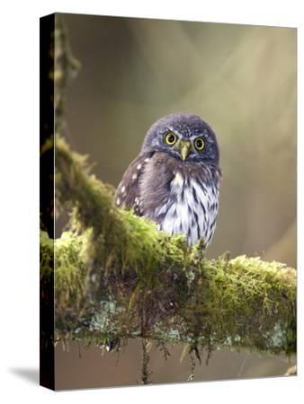 Northern Pygmy-Owl, Glaucidium Gnoma, in the Rainforest-Rich Reid-Stretched Canvas Print