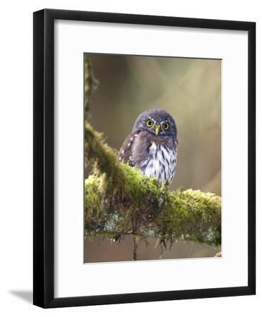 Northern Pygmy-Owl, Glaucidium Gnoma, in the Rainforest-Rich Reid-Framed Photographic Print