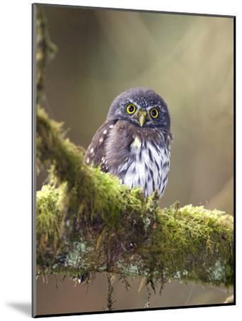 Northern Pygmy-Owl, Glaucidium Gnoma, in the Rainforest-Rich Reid-Mounted Photographic Print