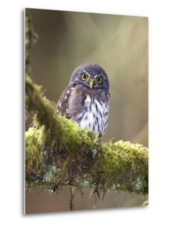 Northern Pygmy-Owl, Glaucidium Gnoma, in the Rainforest-Rich Reid-Metal Print