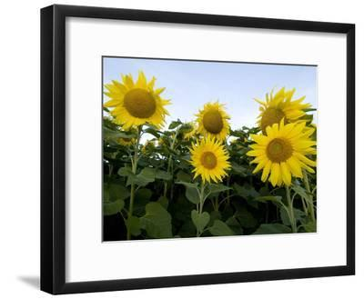 Sunflowers on Cape Breton Island-Karen Kasmauski-Framed Photographic Print
