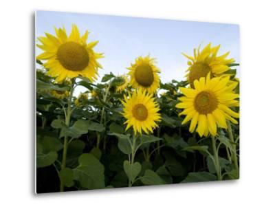 Sunflowers on Cape Breton Island-Karen Kasmauski-Metal Print