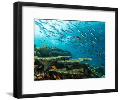 Schooling Fish over a Tropical Coral Reef-Mauricio Handler-Framed Photographic Print