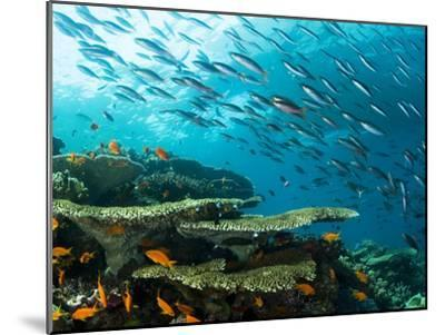 Schooling Fish over a Tropical Coral Reef-Mauricio Handler-Mounted Photographic Print