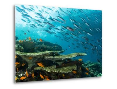 Schooling Fish over a Tropical Coral Reef-Mauricio Handler-Metal Print