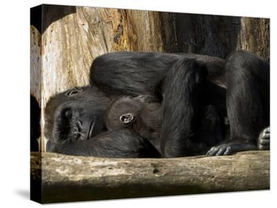 Endangered Western Lowland Gorilla Family, Gorilla Gorilla Gorilla-Paul Sutherland-Stretched Canvas Print