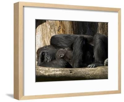 Endangered Western Lowland Gorilla Family, Gorilla Gorilla Gorilla-Paul Sutherland-Framed Photographic Print