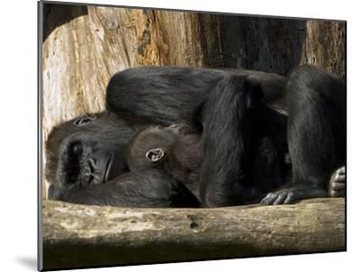 Endangered Western Lowland Gorilla Family, Gorilla Gorilla Gorilla-Paul Sutherland-Mounted Photographic Print