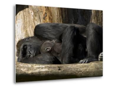 Endangered Western Lowland Gorilla Family, Gorilla Gorilla Gorilla-Paul Sutherland-Metal Print