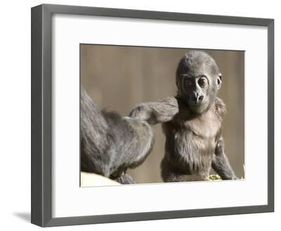 A Baby Gorilla, Gorilla Species, Holding and Adult's Hand-Paul Sutherland-Framed Photographic Print
