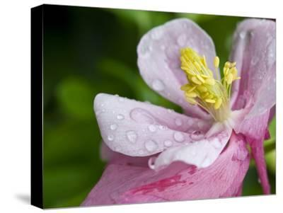 Water Droplets on a Lenten Rose Flower-Brian Gordon Green-Stretched Canvas Print