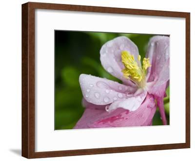 Water Droplets on a Lenten Rose Flower-Brian Gordon Green-Framed Photographic Print