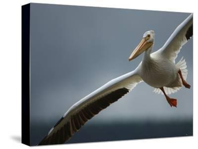 An American White Pelican Sails Above the Slave River-Klaus Nigge-Stretched Canvas Print