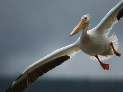 An American White Pelican Sails Above the Slave River-Klaus Nigge-Photographic Print