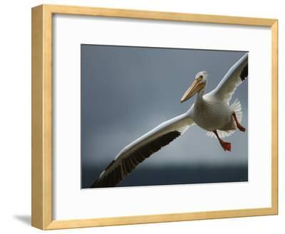 An American White Pelican Sails Above the Slave River-Klaus Nigge-Framed Photographic Print